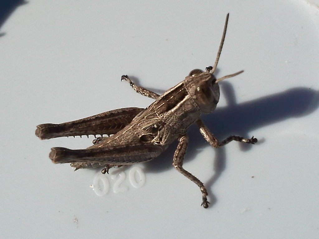 fotolistado entomol u00f3gico de benimamet  eyprepocnemis