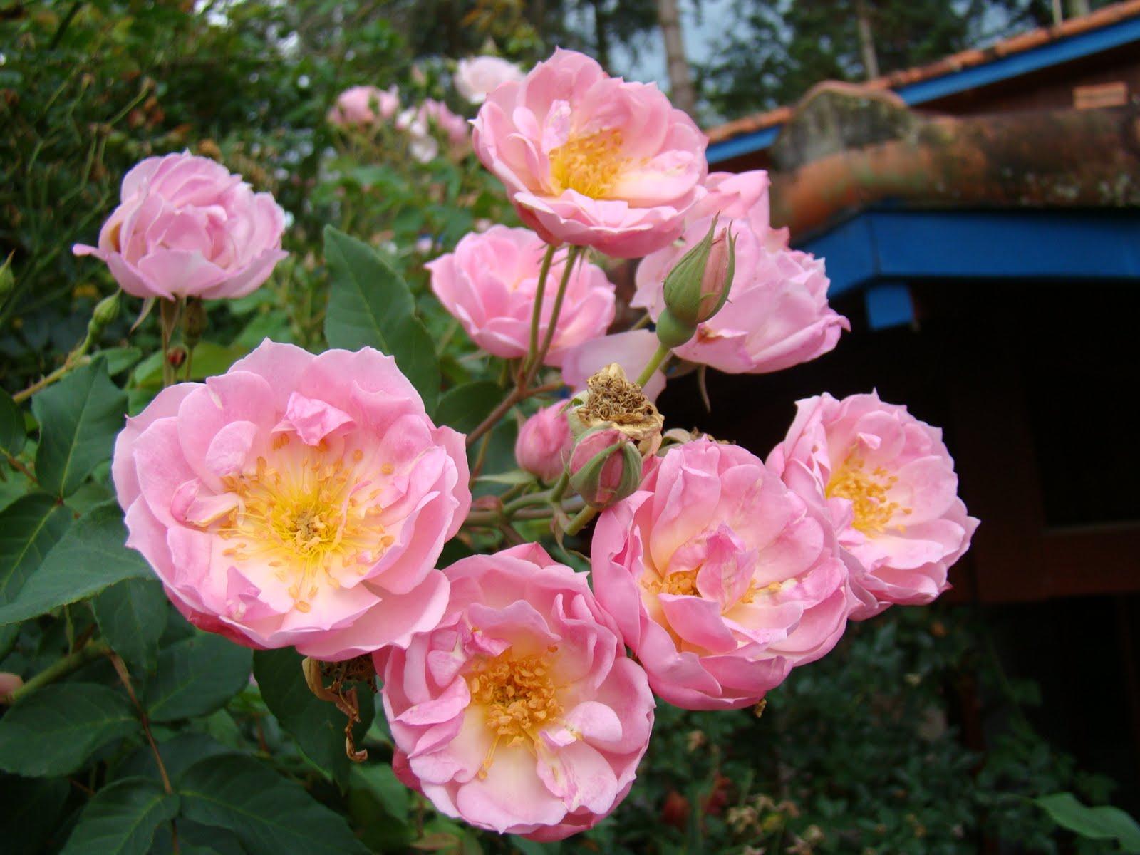 [rosas]