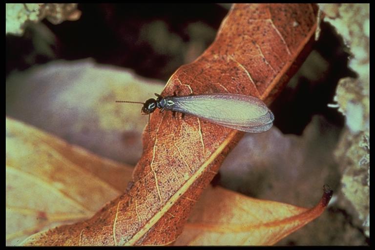 Big Al The Bugman Termite Swarmers