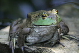 Big Green Pond Frog