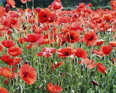 I love Poppies and come Rememberance Sunday, wear one with pride