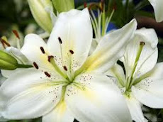 White lilies are my favourite flower
