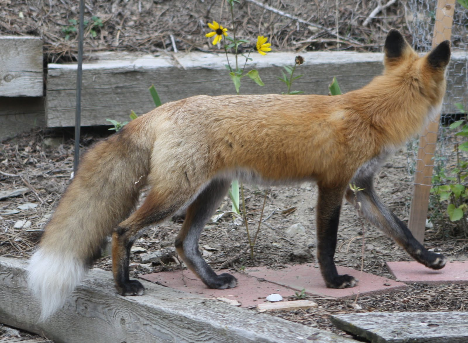 living and dyeing under the big sky red fox
