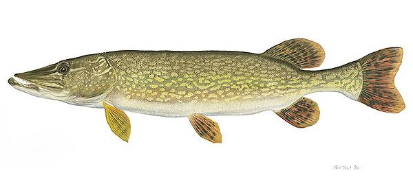 Niagara angler fish facts for Northern pike fish