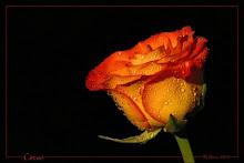 Rosa regalo de HacheXX.