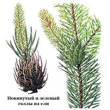 вредители ели, вредитель, вредители растений, болезни вредители, насекомые вредители, вредители дерева, вредители леса, хвойные вредители