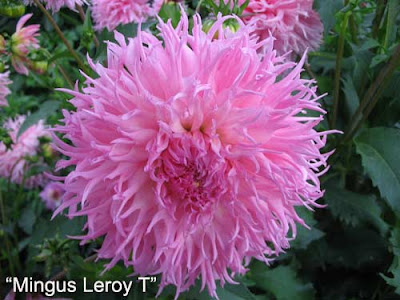 георгины, цветок георгин, сорта георгинов, фотографии георгин, георгины фото