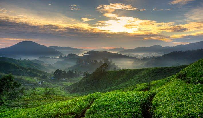 金马仑茶园