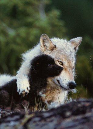 List of wolf attacks  Wikipedia