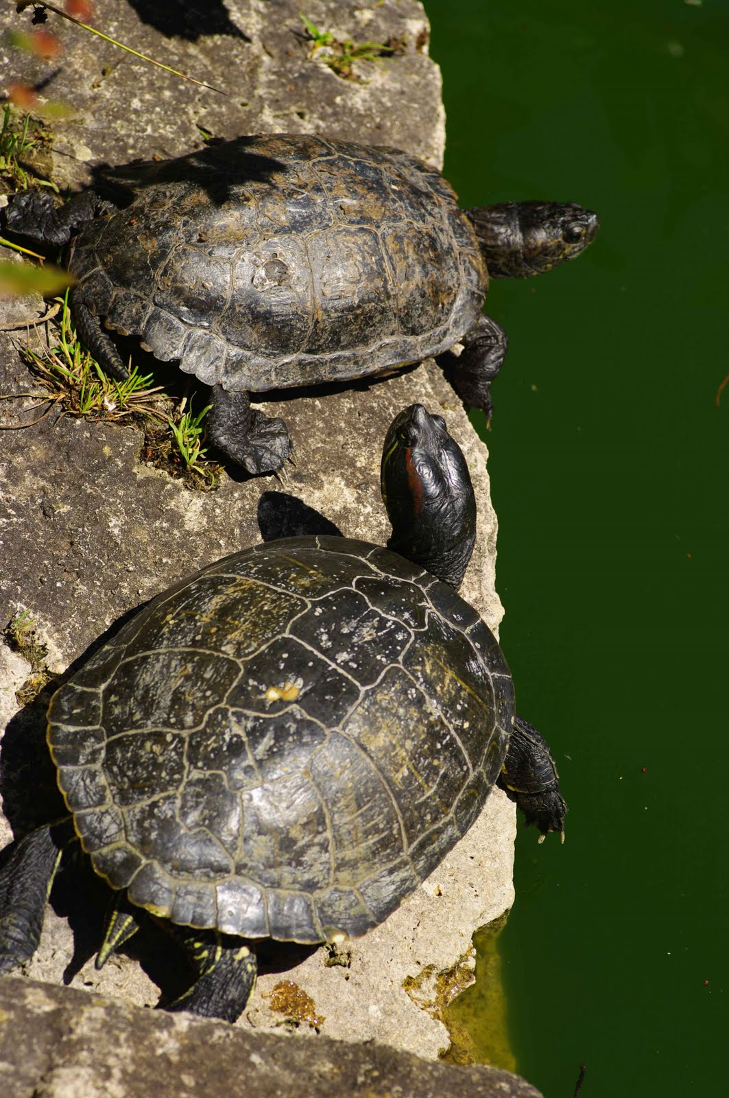 Howard Rubins Pacific Wheel: Turtle Count at Stow Lake in Golden Gate ...