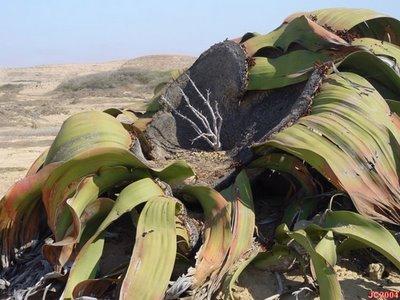 [welwitschia+2.jpg]