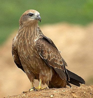 Indian kite bird - photo#7