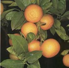 Tibio sol de la tarde sobre las naranjas...