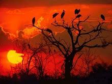 Ocaso rojo de aves que bailan sobre las ramas...