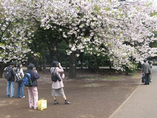 Cherry blossom viewing, Shinjuku Gyoen Park, Tokyo.
