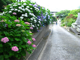 Hydrangeas in Shimoda