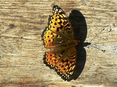 fritillary butterfly at Red Lake, Ontario