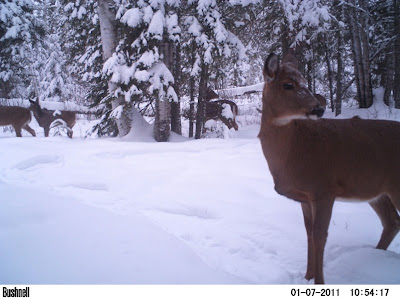 whitetail deer, Nolalu, 2011