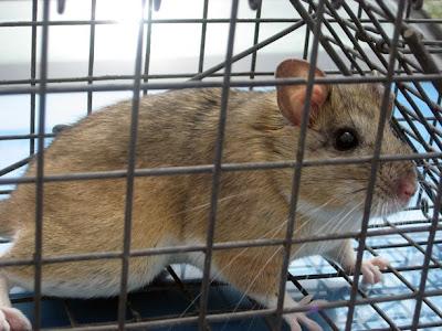 A bushy-tailed wood rat's tale