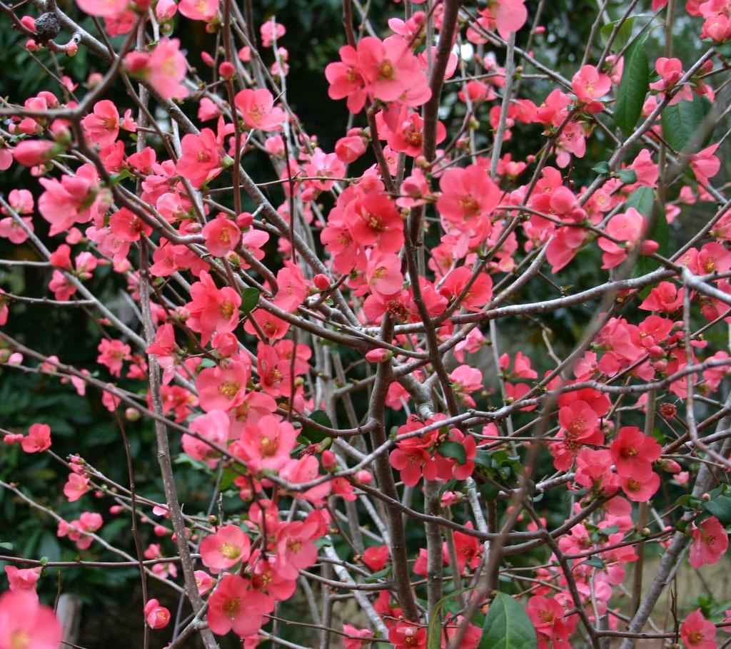 Victoria Gardens: Flowering Hedge: 20% off Flowering ...