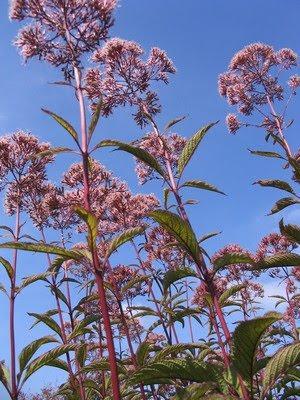 Victoria Gardens Tall Medium And Short Perennials That