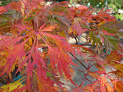 Our number one, top fall foliage pick in the nursery right now is 'Green .