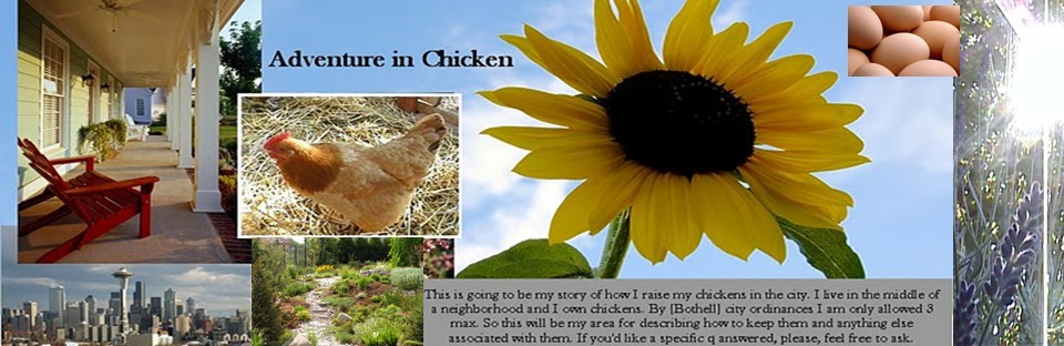 Adventures in Chicken. Raising chickens in suburbs