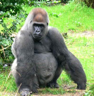 gorilla penis