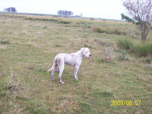 DOGO ARGENTINO RAYO