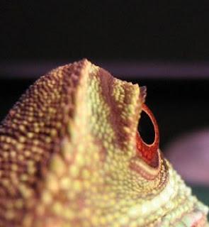 Lizard eye close up