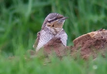 Wryneck, Tin Church, September 2008