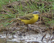 Blue-headed Wagtail, High Newton, April 2009