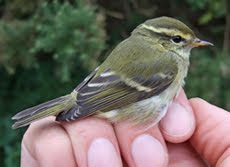 Yellow-browed Warbler, Low Newton, October 2010