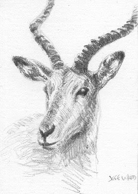 gazelle aceo sketch