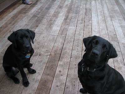 The dogs on the deck Dagan on the left, Anista on the right, looking at the camera