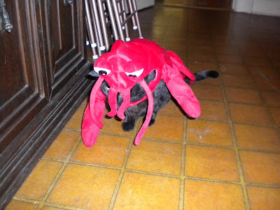 20 pounds of black cat covered in a small dog lobster costume - great crouch going on