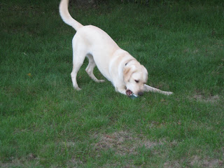 Poppy on the green grass, in a play bow with a bone between her mouth and the grass