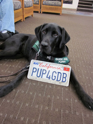Dagan lying of the floor at the dealership with the license plate between his front legs reading PUP4GDB