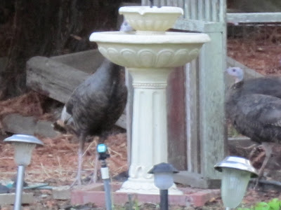 Turkeys around the bird bath