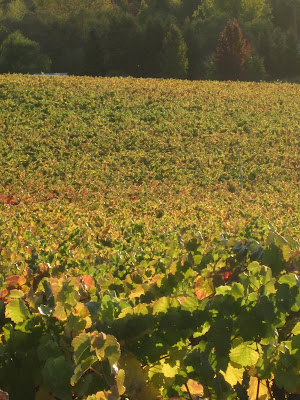 A hillside of grapevines, just starting to turn fall colors of red and gold