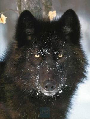 Wolf Black Wolf Winter