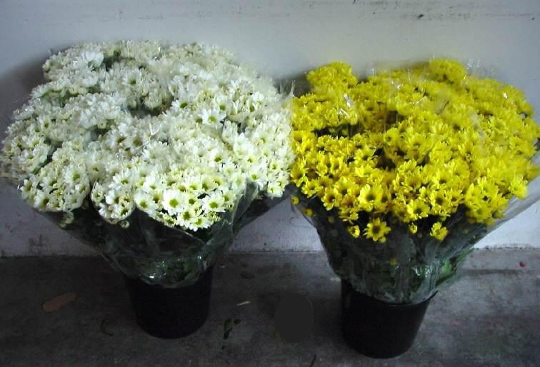 Vico equense on line crisantemi per maroni - Crisantemi in vaso ...
