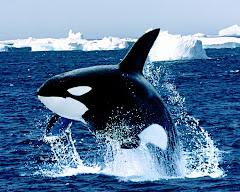 balena...
