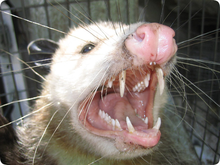 How do you know if a possum has rabies