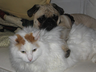 Is My Pug Pregnancy http://mylifeasapug.blogspot.com/2008/06/lounging-with-cats.html
