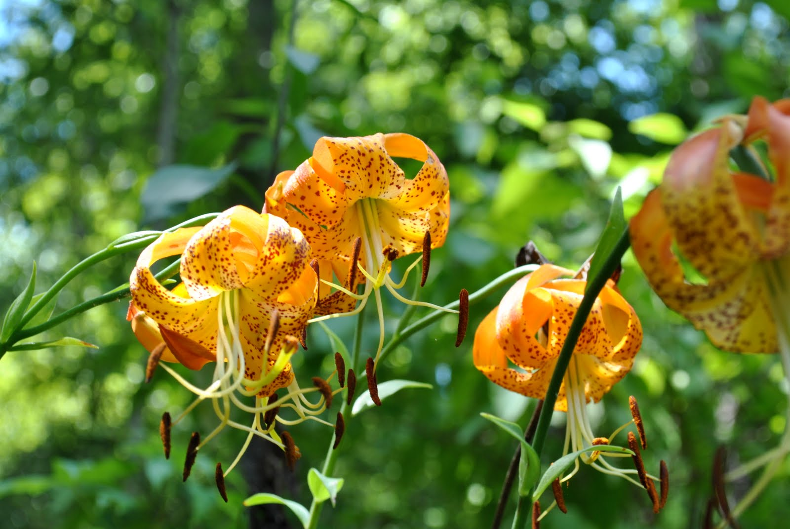 Plant of the day lilium michauxii the garden dirt blog lilium michauxii the carolina lily is named for the french botanist andre michaux who studied plants in the southeastern us its beauty among dry woods izmirmasajfo