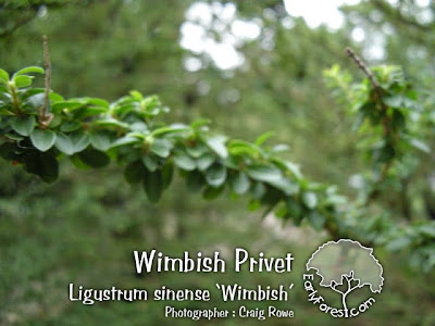 Wimbish Privet Leaves