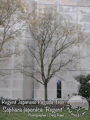Regent Japanese Pagoda Tree