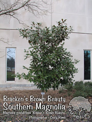 Braken's Brown Beauty Southern Magnolia