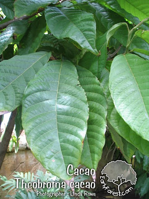 sip cacao leaves